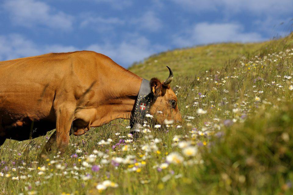 Vaches savoie Pochat et fils tarine Reblochon