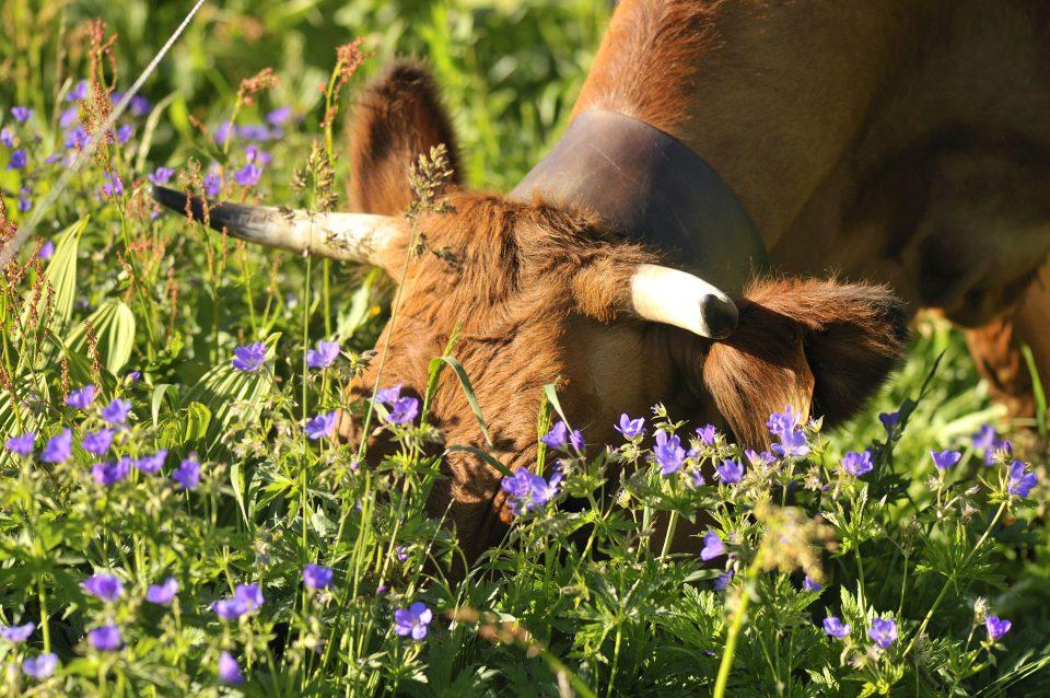 Vache tarine pâturage fleur Savoie Pochat