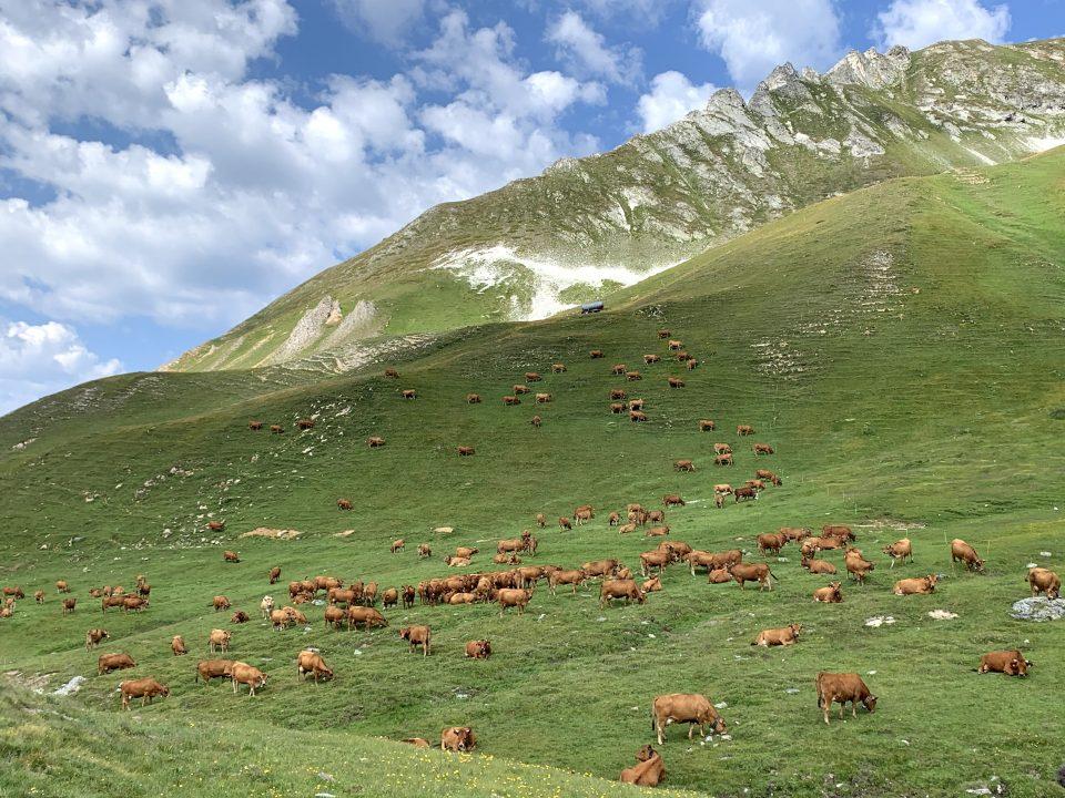 Alpage Beaufort vache savoie Pochat