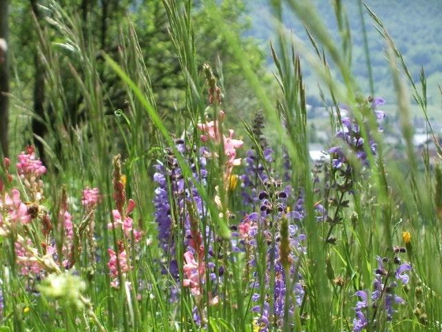 Flore alpine : diversité, espèces menacées et pâturages